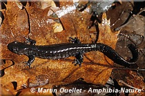 Ambystoma laterale-jeffersonianum - Complexe de la salamandre de Jefferson