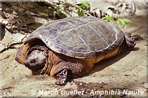 Chelydra serpentina - Tortue serpentine