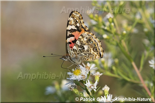 Belle dame (Painted Lady